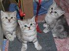 Фотография в Одежда и обувь, аксессуары Свадебные платья Мраморные шотландские котята. К лотку и когтеточке в Ставрополе 4500