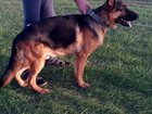 Изображение в Собаки и щенки Вязка собак Молодой кобель от чемпионов с документами в Ставрополе 0