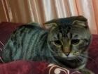 Новое фотографию Вязка кошек Молодой красивый котик скотиш-фолд ждет в гости кошечку 40562324 в Ставрополе