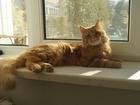 Увидеть изображение Отдам даром - приму в дар отдадим в заботливые руки годовалово кота- мышелова 67643043 в Ставрополе