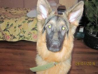 Смотреть изображение Продажа собак, щенков Отдам овчарку в добрые руки! 34761185 в Стерлитамаке