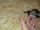 Фотография в   Отдам котят, родились 19 марта в Сургуте 0