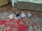 Фото в   Прадаю щенка 1. 5. месс. в добрые руки. мама в Сургуте 5000