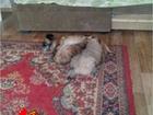 Фотография в   Мама пикинес. папа шпиц. но щенок больше в Сургуте 5000