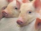 Просмотреть foto Другие животные Привезем поросят, заказать 36686914 в Сургуте