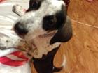 Изображение в   Отдам собаку, четыре месяца, девочка, в хорошие в Сургуте 100