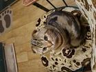 Уникальное фотографию Вязка кошек Ищем красивую кошку для вязки 55256372 в Сургуте