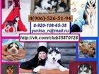 Фотография в Собаки и щенки Продажа собак, щенков Срочно продам чёрно-белых голубоглазых щенков в Сыктывкаре 0