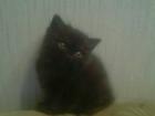 Фотография в Кошки и котята Продажа кошек и котят Продаются плюшевые британцы! Малыши родились в Сыктывкаре 2500
