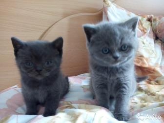 Скачать бесплатно изображение Отдам даром - приму в дар Отдам котят британцев в надежные руки 61883745 в Сыктывкаре