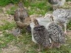 Скачать фото Корм для животных Комбикорм Гроуэр для индеек 9-15 нед, 34277435 в Таганроге