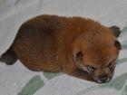 Фото в Собаки и щенки Продажа собак, щенков Предлагаем к продаже мальчиков редкой породы в Таганроге 35000