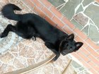 Новое фотографию Вязка собак Немецкая овчарка, Вязка, Кобель, 60156045 в Таганроге