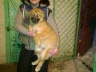 Фотография в   Отдам щенков в хорошие руки, могут жить на в Тамбове 0