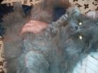 Изображение в   Чистокровный персидский кот ищет кошечку в Котовске 0