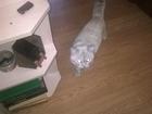 Фото в Кошки и котята Вязка Кот шотландец с прямыми ушами ищет кошку в Тихорецке 0