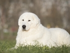 Фото в Собаки и щенки Вязка собак Кобель маремма-абруцкой овчарки, импорт из в Тихвине 35