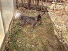 Фото в Собаки и щенки Вязка собак Длинношерстный, голубого окраса кобель чихуахуа в Тюмени 0
