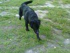 Фотография в Потерянные и Найденные Найденные Срочно всем помогите! ! ! Найдена собака в Тюмени 0