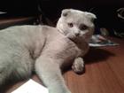 Фотография в   Предлагаем вязку с шотландским котом в Тюмени 1000