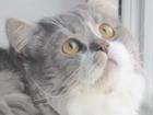 Фотография в Кошки и котята Вязка Чистокровный шотландский хайленд страйт ждёт в Тюмени 1500