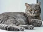 Изображение в Кошки и котята Вязка Предлагаем красивого шотландского прямоухого в Тюмени 1000
