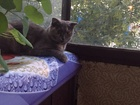 Фото в   Умная, красивая, вислоухая кошечка желает в Тюмени 0