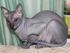 Фото в Кошки и котята Вязка Умный ласковый молодой кот ищет опытную  в Тюмени 0