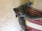 Фото в Кошки и котята Вязка Красивая вислоухая шотландка ищет опытного в Тюмени 0
