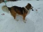 Скачать фотографию Вязка собак Ищем сучку для вязки, Отличный самец, порода дворняга, здоровый, умный, пес, Возраст 4 г, Прививки есть, 1 раз) 46245406 в Тюмени