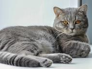 Шотландский котик для вязки Предлагаем красивого шотландского прямоухого кота дл