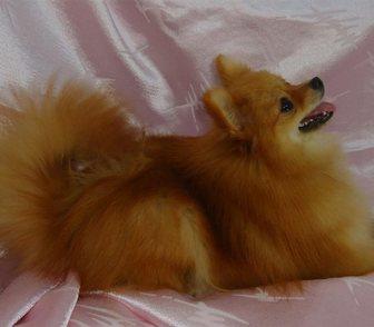 Фотография в Собаки и щенки Продажа собак, щенков Продам щенков немецкого шпица. Возраст 2, в Кургане 15000