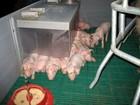 Фото в Домашние животные Другие животные Поросята в живом весе. Порода Крупная Белая+Дюрок. в Ишиме 0