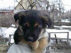 Свежее фото Продажа собак, щенков отдам щенков в хорошие руки 32593768 в Тольятти