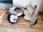Новое изображение Вязка собак Кобель для вязки 39067029 в Тольятти