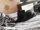 Просмотреть foto Вязка кошек Ищем кота для первой вязки 64783483 в Тольятти