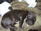 Фото в Собаки и щенки Продажа собак, щенков Щенки от рабочих родителей с хорошей родословной в Томске 10000