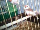 Фотография в Домашние животные Птички Продам птенцов зебровой амадины, три самочки. в Томске 500
