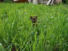 Фото в Кошки и котята Вязка Бурманский молодой кот соболинной окраски. в Агрызе 0