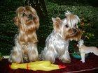 Фото в   Щенок Йоркшира мальчик 4 мес привит родители в Томске 15000