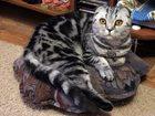 Изображение в Кошки и котята Вязка Кошечка 2 года ищет прямоухого женижа своей в Томске 0