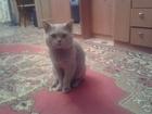 Увидеть foto Вязка Британец красавец 1год 1мес ищет подругу на своей территории 34345056 в Томске
