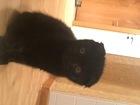 Изображение в Кошки и котята Продажа кошек и котят Шотландская вислоухая.   2 месяц.   окрас в Томске 3000