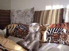 Фото в Кошки и котята Вязка Шотландский вислоухий кот ищет кошечку британку в Томске 2000