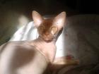 Скачать foto  Ищем кошку для вязки 36817654 в Томске