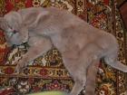 Изображение в Кошки и котята Вязка опытный кот лиловый британец, готов приехать в Томске 0
