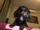 Уникальное изображение Вязка собак Ищем мальчика для девочки длинношерстной таксы (Бесплатно или не дорого) 38134499 в Северске