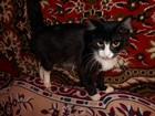 Фото в Кошки и котята Продажа кошек и котят Котик черно белый, ласковый, умный красивый в Томске 0