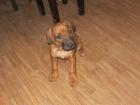 Смотреть фотографию  Кобель родезийского риджбека для вязки 38657951 в Томске