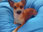 Скачать изображение Вязка собак Ищем подругу 38774363 в Томске